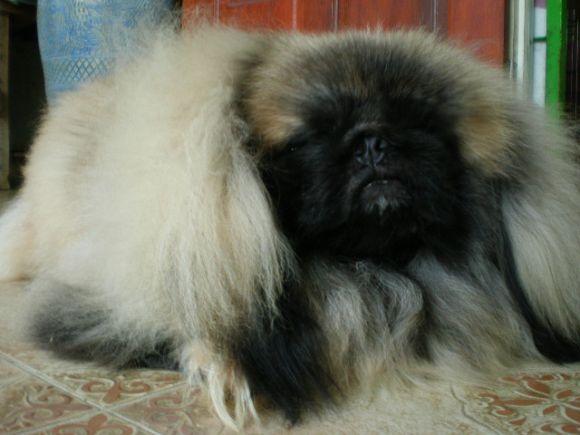 พ่อพันธุ์  Pekingese รับผสม