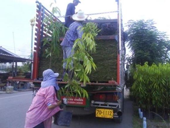 อโศกอินเดียส่งเชียงใหม่ 1,000 ต้น