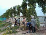 ปลูกต้นอโศกอินเดียจำนวน 600 ต้นให้กับบริษัทฮอนด้า