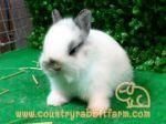 กระต่าย HL & ND สายพันธ์แท้ มาตรฐานUSA จาก Country Rabbit Farm
