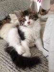 เปิดจอง ลูกแมวเมนคูน คอกใหม่ 29 May'12 สายพันธุ์แท้ พร้อมทำใบรับรอง CFA จากอเมริกา