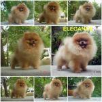 ลูกปอมเมอเรเนียน - puppy available
