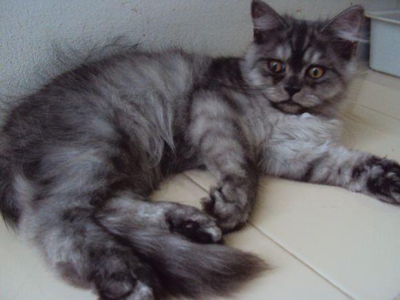 ขายแมวเปอร์เซียซิลซิล่า