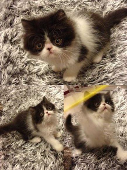 ขายลูกแมวเปอร์เซีย พ่อแกรนแชมป์ ราคาไม่แพง2