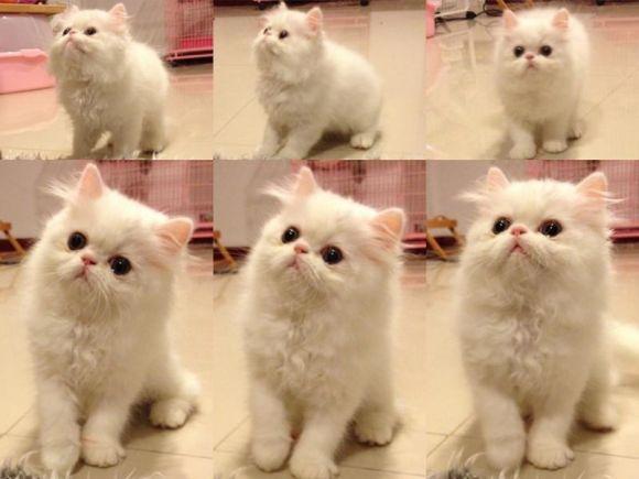 ขายลูกแมวเปอร์เซีย พ่อแกรนแชมป์ ราคาไม่แพง1