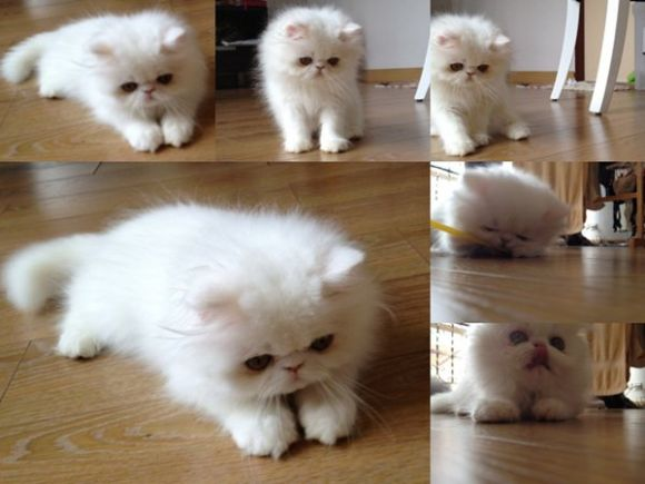 ขายลูกแมวเปอร์เซีย พ่อแกรนแชมป์ lสีขาวตัวผู้ สวยมาก ราคาไม่แพง