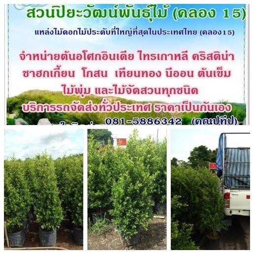 จำหน่ายไทร ต้นไทรเกาหลี ขายไทรเกาหลี  ไทรเกาหลีราคาถูก ติดต่อ 089-6083687 (โบว์)