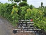 จำหน่ายต้นอโศกอินเดีย อโศกอินเดีย อโศกอินเดียราคาถูก ติดต่อ 089-6083687 (โบว์)