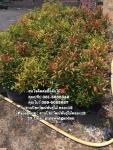 จำหน่ายต้นคริสติน่าราคาถูก ต้นคริสติน่าโทร 089-6083687 โบว์สวนปิยะวัฒน์พันธุ์ไม้