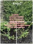 จำหน่ายชาฮอกเกี้ยน ขายชาฮอกเกี้ยน ต้นชา ชาดัด สนใจติดต่อ 089-6083687 (โบว์)