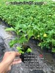 ต้นกระดุมทอง ต้นกระดุม กระดุมทองเลื้อย 089-6083687 สวนปิยะวัฒน์พันธุ์ไม้