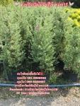 ต้นแสงนีออน นีออน ต้นนีออน 089-6083687 สวนปิยะวัฒน์พันธุ์ไม้