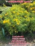 ต้นทองอุไร ทองอุไร สนใจ 089-6083687 สวนปิยะวัฒน์พันธุ์ไม้