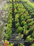 ต้นเข็มแดงเชียงใหม่ ต้นเข็ม ราคาถูก สนใจติดต่อ 089-6083687 (โบว์)
