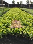 ต้นไทรยอดทอง ไทรทอง ต้นไทร ราคาถูก สนใจติดต่อ 089-6083687 (โบว์)