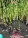 หญ้าแฝก จำหน่ายหญ้าแฝกราคาถูก ติดต่อ 089-6083687 (โบว์)