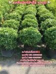 ต้นพุดศุภโชค พุดศุภโชค ต้นพุด 089-6083687 โบว์ สวนปิยะวัฒน์
