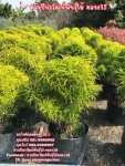 เล็บครุฑฝอยทอง ต้นเล็บครุฑ เล็บครุฑฝอยทอง ราคาถูก 089-6083687 โบว์ สวนปิยะวัฒน์