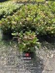 ต้นชบาแดง ชบาแดง ชบาขาว ถุง4นิ้ว ถุง8นิ้ว 089-603687 โบว์ สวนปิยะวัฒน์พันธุ์ไม้