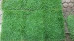 หญ้านวลน้อย หญ้ามาเลเซีย หญ้าญี่ปุ่น หญ้าเบอร์มิวด้า 089-6083687 โบว์ สวนปิยะวัฒ