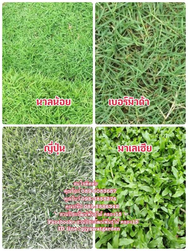หญ้านวลน้อย หญ้ามาเลเซีย หญ้าญี่ปุ่น หญ้าเบอร์มิวด้า 089-6083687 โบว์ สวนปิยะวัฒน์