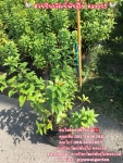 ต้นบานบุรี บานบุรี ติดต่อ 089-6083687 โบว์ สวนปิยะวัฒน์