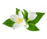 Jasmine from Tunisia, Pure Essential oils 30ml