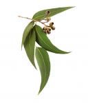 Eucalyptus from Tasmania, Pure Essential oils 30ml